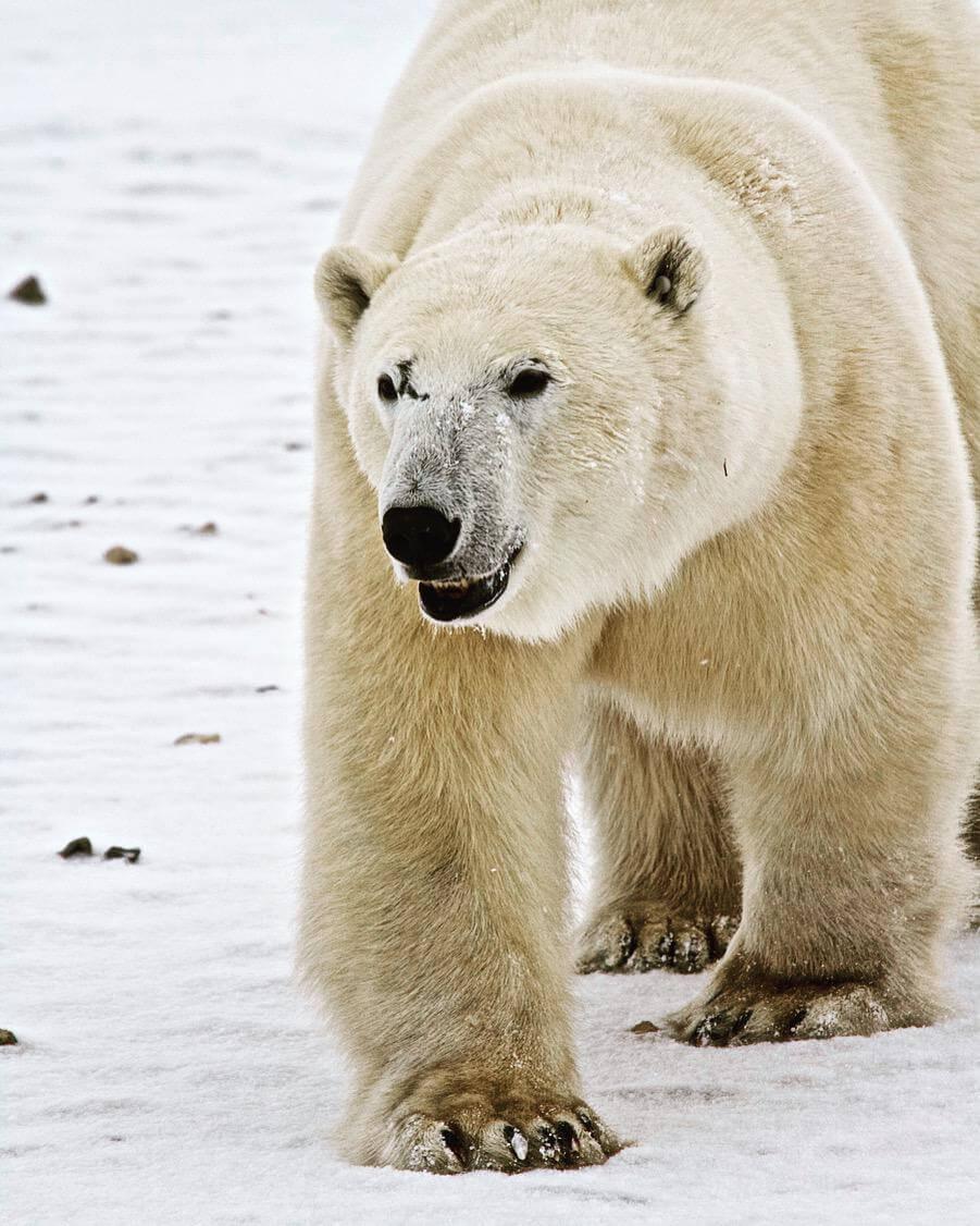 Alla ricerca degli orsi polari